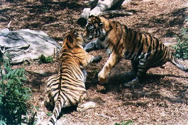 ,老虎有多猛
