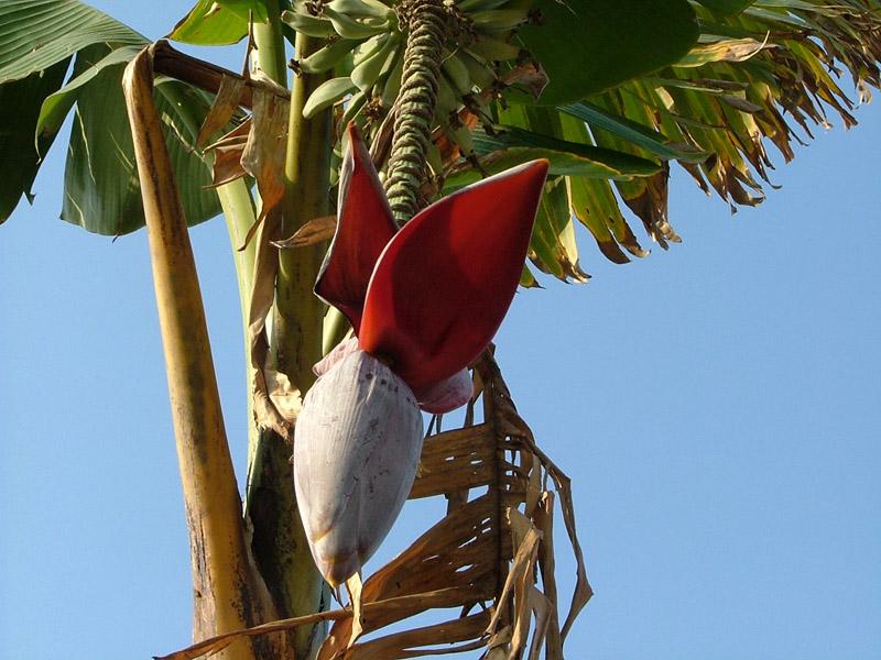 第一次知道!香蕉树会开花的