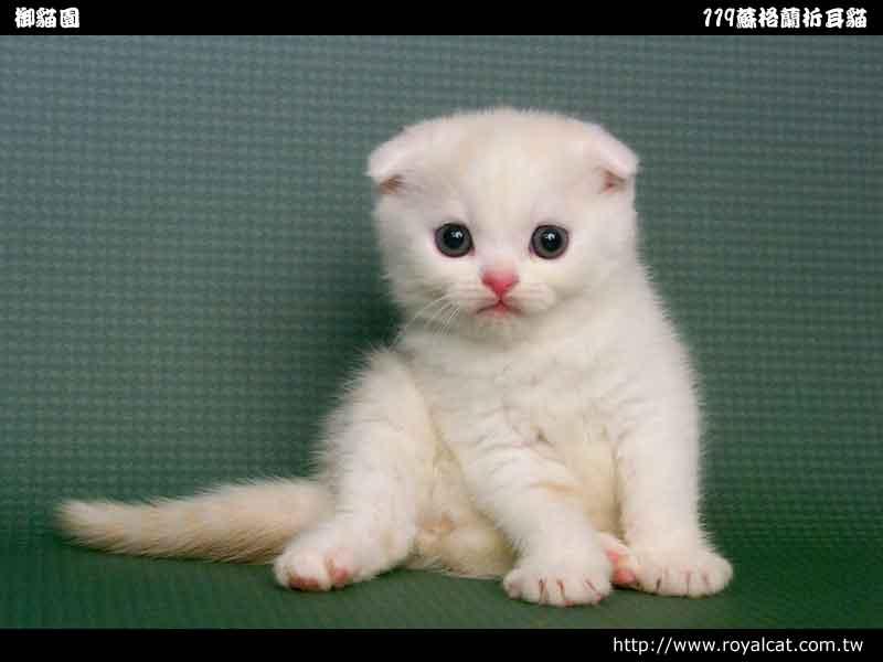 苏格兰折耳猫----好可爱:)