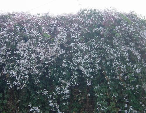 这种爬藤的开花植物是什么?我好想种阿!