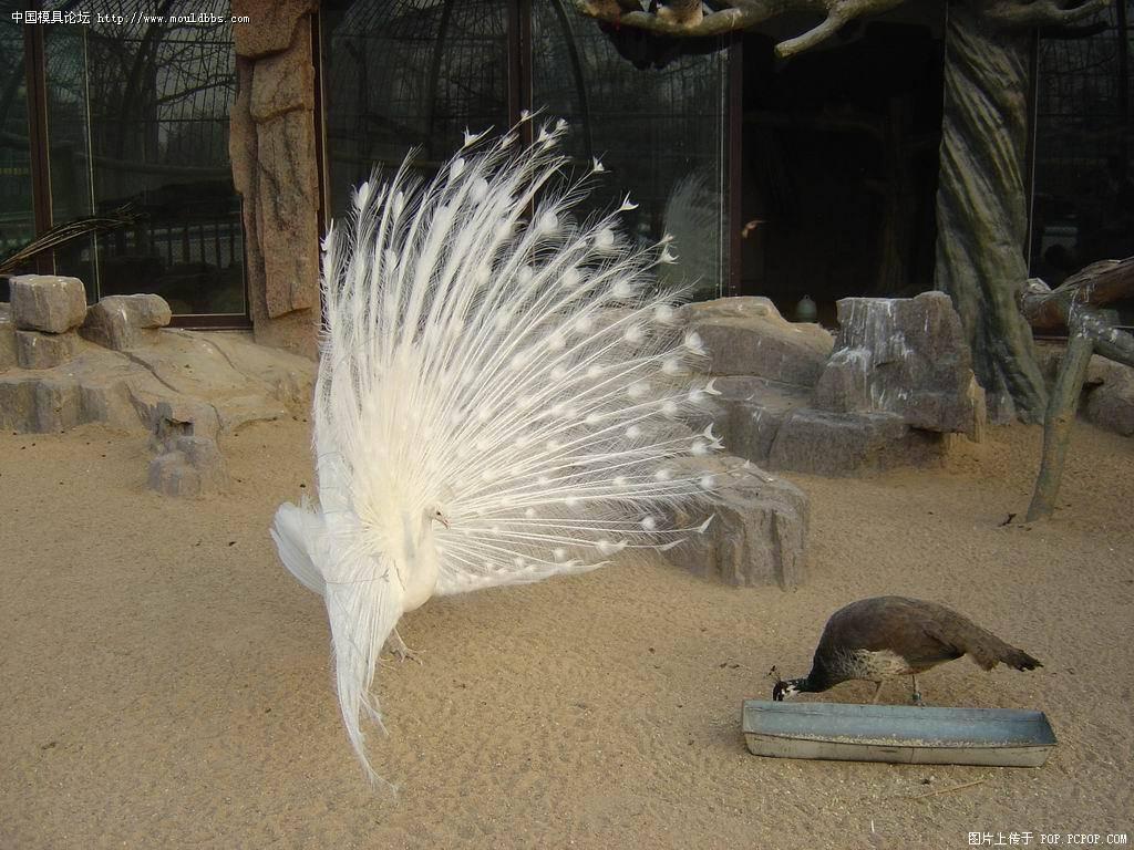 深圳野生动物园孔雀