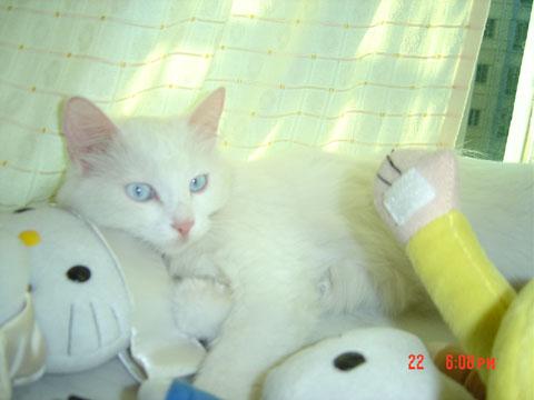蓝眼猫咪图片大全可爱
