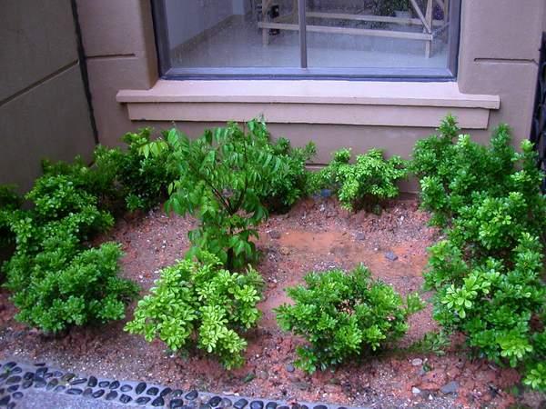 阳光房外墙角种了些米兰