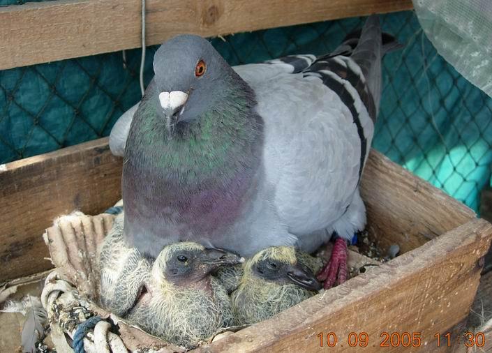 大家来看看可爱的鸽子吧